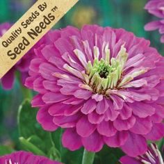 """50 Seeds, Zinnia """"Purple Prince"""" (Zinnia elegans) Seeds By Seed Needs by Seed Needs: Flowers. $1.69. Environment: Full sun. Light Required: No. Average Germ Time: 7 - 14 days. Soil Type: Well-drained, pH 6.0 - 6.5. USDA Zones: 3 - 10. Height: 36 inches. Quality Zinnia Seeds Packaged by """"Seed Needs"""". Bloom Season: Late spring to early fall. Planting instructions, along with a colorful picture of the species are included with all """"Seed Needs"""" packets. Moisture: Keep ..."""