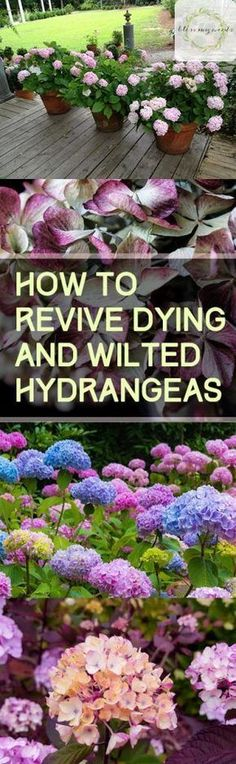 hydrangea garden care How to Revive Dying and Wilted Hydrang. - Garden Care tips, Garden ideas,Garden design, Organic Garden Hydrangea Potted, Hydrangea Care, Hydrangea Flower, Pruning Hydrangeas, Hydrangea Bush, Garden Care, Gardening For Beginners, Gardening Tips, Urban Gardening