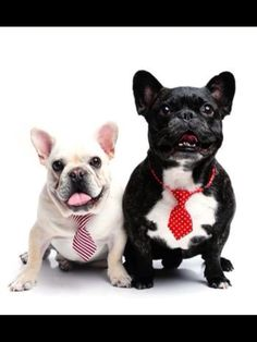 French Bulldogs in Ties, so dapper.