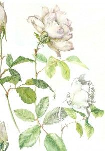 Watercolour and pencil