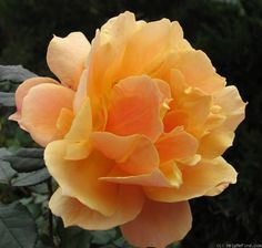 'About Face ' Rose Photo