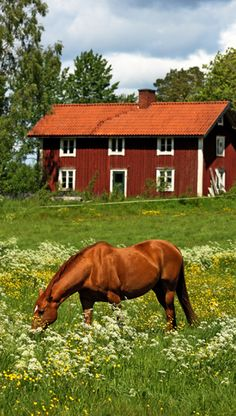 "A beautiful horse enjoying the summer in Småland, Sweden .a peaceful area; a must for the ""back roads traveler"". Country Farm, Country Life, Country Girls, Country Living, Sweden Stockholm, Scandinavian Countries, Swedish House, Back Road, Old Barns"