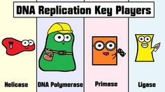 Learn all about DNA replication and the four key players (ligase, helicase, DNA polymerase, and primase) in our video! http://youtu.be/5qSrmeiWsuc