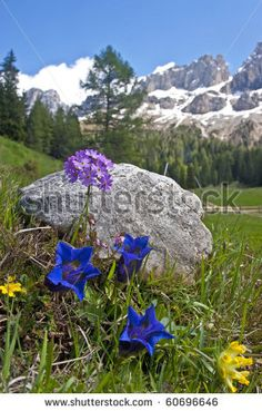 Alpine Flowers In The Dolomite Stock Photo 60696646 : Shutterstock