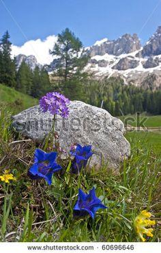 Alpine Flowers In The Dolomite Stock Photo 60696646 : Shutterstock