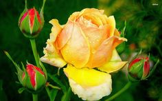 Yellow Rose Widescreen Background Wallpaper