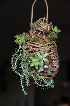Handmade akebia birdcage for succulents display.