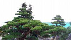 ... - original authentic japanese pruning niwaki versus clouds pruning