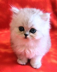 Minuet (Napoleon) and other small cat breeds. Animals And Pets, Baby Animals, Cute Animals, Cute Cats And Kittens, Kittens Cutest, Napoleon Cat, Small Cat Breeds, Gatos Cats, Munchkin Cat