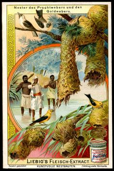 "Birds Nests ~ Weaver Birds  Liebig's Beef Extract ""Birds Nests"" German issue, 1904."