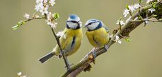 two-blue-tits-on-blossom-branch-by-david-reynolds-creative-commons.jpg (702×336)