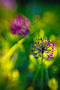 A flower, garden, plants and floral art photography by international garden photographer of the year Magda Wasiczek Beautiful Images, Beautiful Flowers, Macro Flower, Blossoms, Planting Flowers, Dandelion, Art Photography, Seeds, Delicate