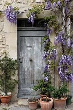 Grey vintage door, purple wisteria.