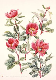 Paeonia mascula Russoi by Luca Palermo