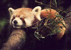 Red panda. So. Cute.