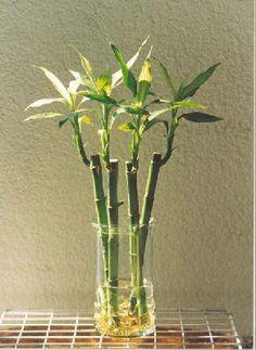 El bambú, perteneciente a la familia de las gramíneas, subfamilia de las poaceae, es un tipo de planta de hoja perenne popular por su bello follaje verde. Esta planta desempeña a la perfección su t…