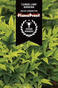 "Southern Living® Plant Collection Varieties Designated ""FlameProof"" By Dallas Arboretum Plant Design, Garden Design, Sunshine Ligustrum, Lemon Lime Nandina, Dallas Arboretum, Some Like It Hot, New Growth, Southern Living, Garden Styles"