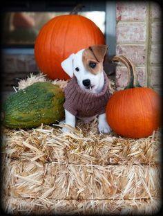 cute Jack Russell Terrier jack-russell-terriers-and-other-dogs Jack Russell Terriers, Jack Russell Mix, Jack Russell Puppies, Parson Russell Terrier, Puppies And Kitties, Cute Puppies, Cute Dogs, Doggies, Maltese Puppies