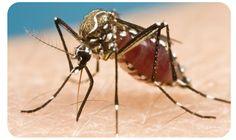 mosquito Zica! Terror!