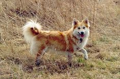 Also known as the Icelandic Spitz or Icelandic Dog, the Icelandic Sheepdog is Iceland's only native canine breed. A spitz breed, this dog was bred for guarding and herding flocks of sheep and livestock, and was also used to pull sleds. Not only that, but the Icelandic Sheepdog is a wonderful family companion.