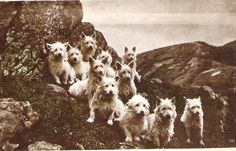A pack of West Highland White Terriers on a moor in Scotland, from a postcard sent in 1930.