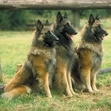 Belgian Tervuren Shepherd Photos