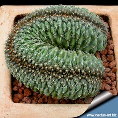 how to split and grow cacti