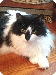 Staten Island, NY - Domestic Longhair. Meet Scotty, a cat for adoption. http://www.adoptapet.com/pet/18643828-staten-island-new-york-cat