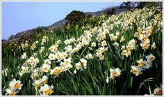 越前水仙ランド - Bing 画像