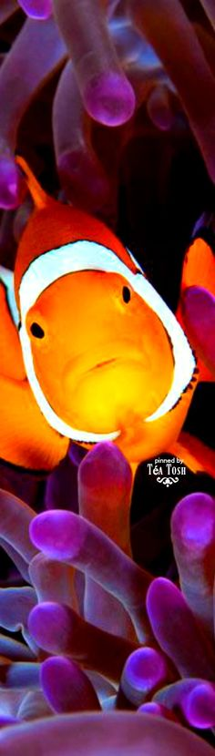 ❈Téa Tosh❈Clown Fish... Nemo?