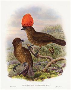 Richard Bowdler Sharpe_ Birds of paradise 25