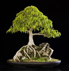Root over rock, Ficus