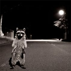 nocturnal shocks: member of a racoon gang menaces a photographer