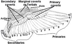 Labeled Diagram of a Falcon to Show the Nomenclature of