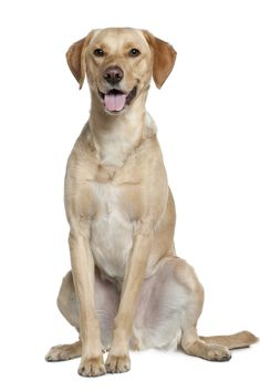 Labrador retriever, 20 months old, sitting in front of white background Golden Retriever Labrador, Labrador Retrievers, Golden Retrievers, 20 Month Old, Dogs And Puppies, Labradors, Pets, Love, Art Sketches