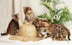 gattini bengala