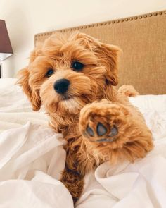 Cavapoo puppies: information, characteristics, facts, videos - DOGBEAST art breeds cutest funny training bilder lustig welpen Super Cute Puppies, Cute Dogs And Puppies, Little Puppies, Doggies, Small Puppies, Adorable Puppies, Cute Pups, Cute Small Dogs, Cute Animals Puppies