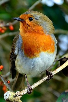 Beautiful Horses, Beautiful Birds, Animals Beautiful, Nature Animals, Animals And Pets, Cute Animals, Bird Pictures, Funny Animal Pictures, Robin Redbreast
