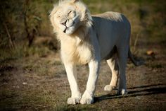 #beautiful #white #lion #Drakenstein #lionpark