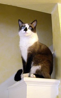 This is Virgil-he is a rescued Snow Shoe Cat. He had some anxiety issues and it seems a hard time with seeing things at times. Poor guy was really misunderstood. However I found him and gave him a perfect home. His anxiety is gone and he is a love.   https://twitter.com/ColonelVirgil