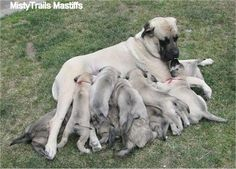 Sassy the English Mastiff and her litter of 11 adorable Mastiff puppies at 5 weeks old - About 10-12 years