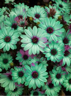 Seafoam Daisies my favourite colour! Should probably be in my garden