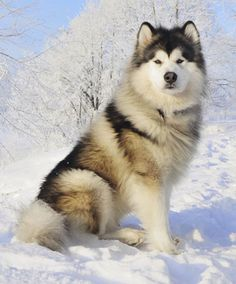 Alaskan Malamute. Lovable, hard working giant bundles of beautiful fluff.