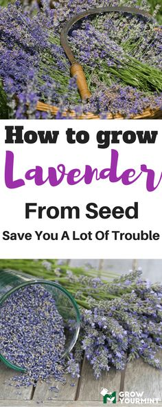 More than ornament, lavender has several useful features, and it is best known for its essential oil. If you wish to know how to grow lavender from seed rather than from cuttings, this article is for you. #followmetosupportmesite#garden#gardening#lavender#