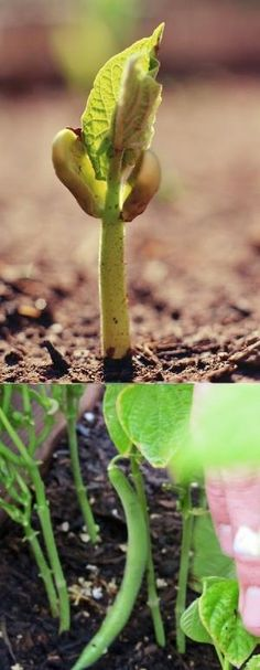#Gardening : How to Grow Beans | My Favorite Things by Hairstyle Tutorials
