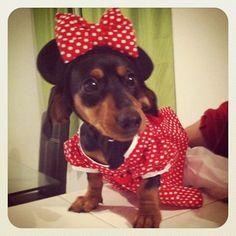 "Minnie ""Mouse"" Doxie #dachshund #teckel #doxie"