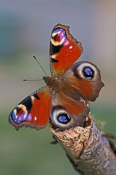 Peacock (Inachis io) by Ray Seagrove, via Flickr