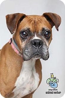 Schnauzer (Miniature)/Jack Russell Terrier Mix Kelly's