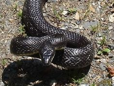 """alabama black rat snake - sometimes called """"the black runner"""" because it is so fast."""