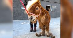 When rescuers came for Poly the pony, they found him locked up in a hellish enclosure and standing in two feet of manure.